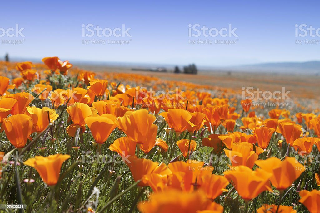 Macro of Poppy field royalty-free stock photo