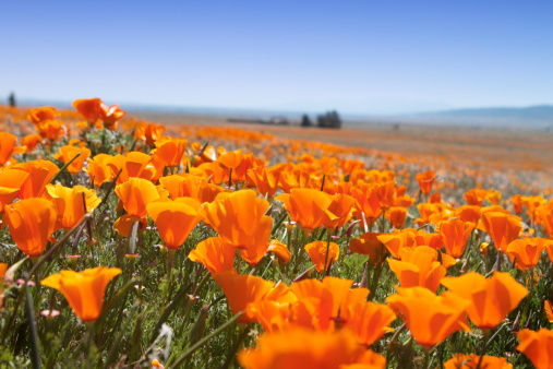 Selective focus view of California poppy flowers in a natural wilderness environment