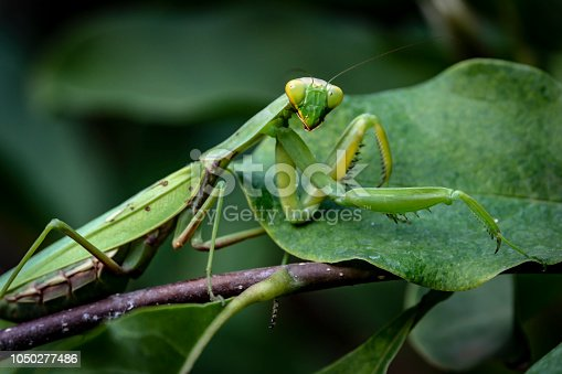 Macro of pregnant female Praying Mantis or Mantis Religiosa in a natural habitat. It looking at the camera and sits on the Magnolia Susan leaves.
