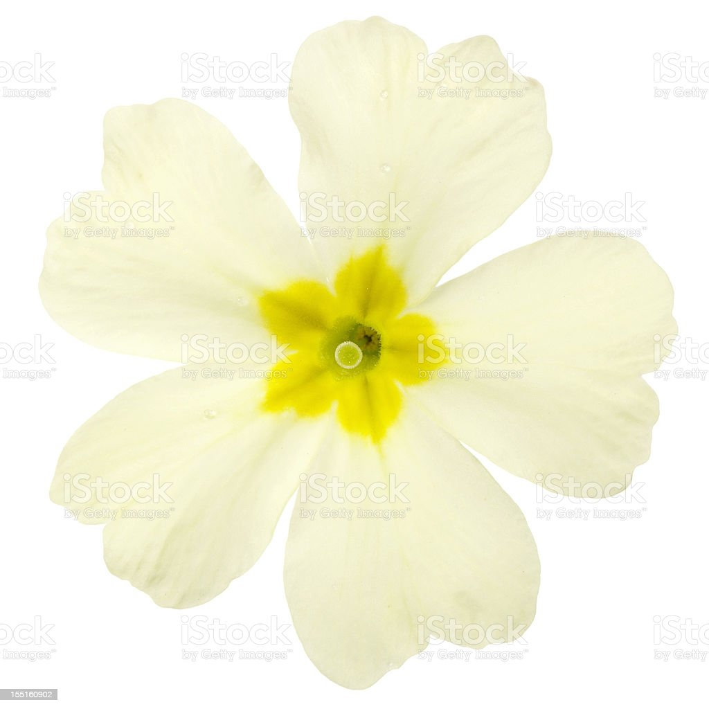 Macro Of Primrose Flower Isolated On White stock photo