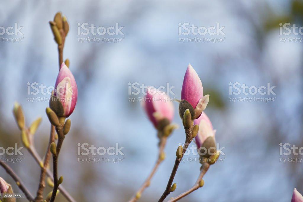 Macro of purple magnolia stock photo
