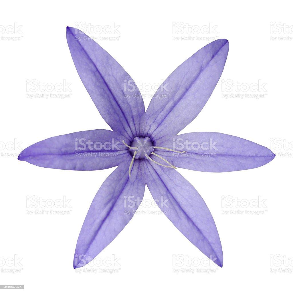 Macro Of Purple Six Petal Flower Isolated On White Stock Photo