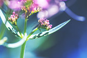 Horizontal composition color photography of macro of red valerian plant, with pink small flowers in selective focus in spring and summer season. Perennial plant with roots having medicial attributes. Blue abstract defocused background.