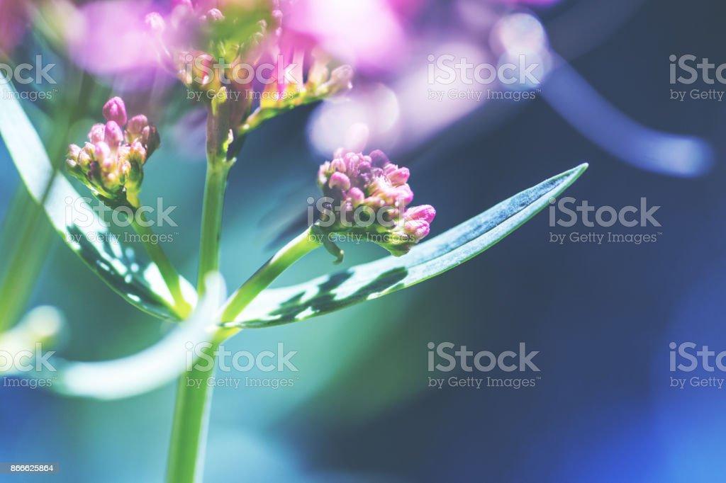 Makroaufnahme einer roten Baldrian Pflanze selektiven Fokus auf Blätter eine Pflanze mit medizinischen Eigenschaften – Foto
