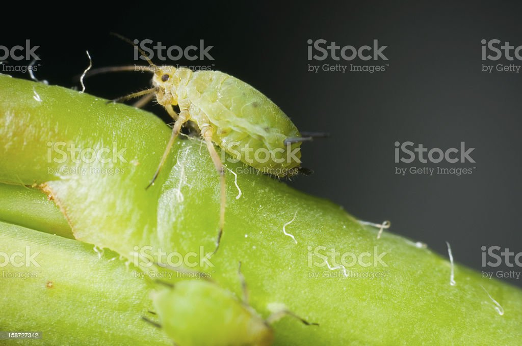 macro of single greenfly stock photo
