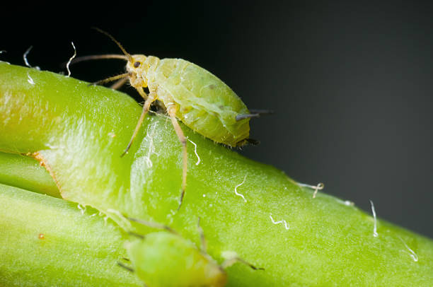 macro of single greenfly Macro side a two millimetre-large green aphid aphid stock pictures, royalty-free photos & images