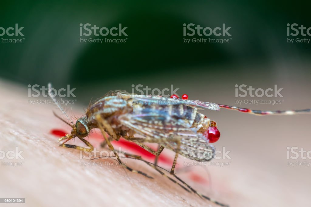 Macro of smashed mosquito (Aedes aegypti) sucking blood to died close up on the human skin. Mosquito is carrier of Malaria, Encephalitis, Dengue and Zika virus, dead stock photo