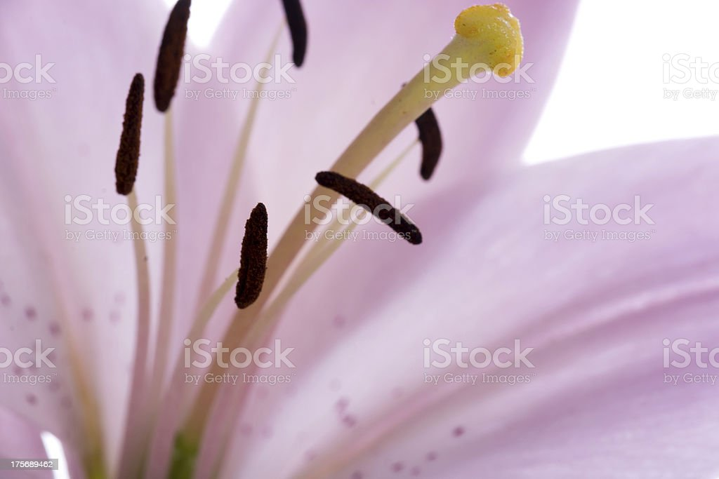 Macro of soft pink Asiatic lily. royalty-free stock photo