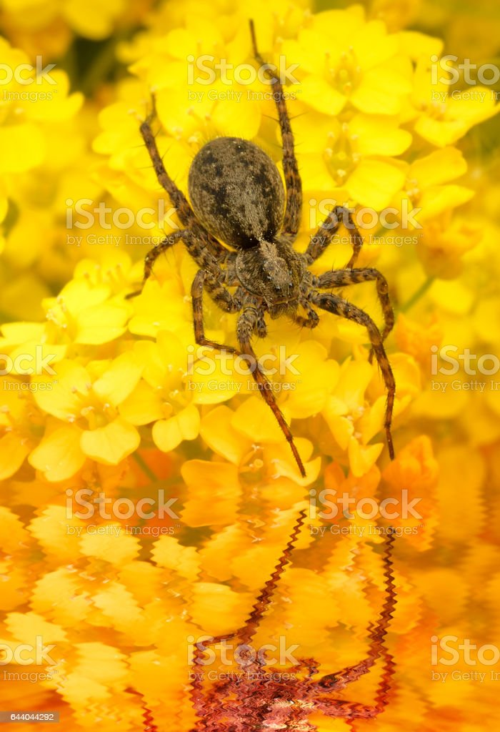 Macro of spider drinking water on yellow flowers stock photo