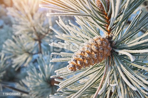 Macro of spruce. Nature composition. Element of design.