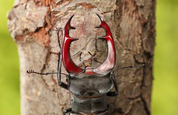 Macro of Stage Beetle Head stock photo