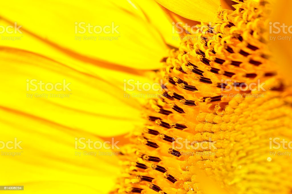 Macro of the a Sunflower stock photo