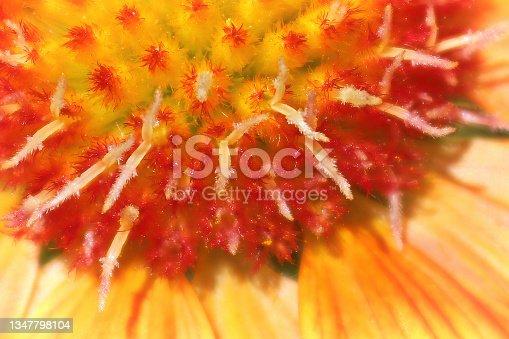 istock Macro of the center of a gaillardia flower head 1347798104