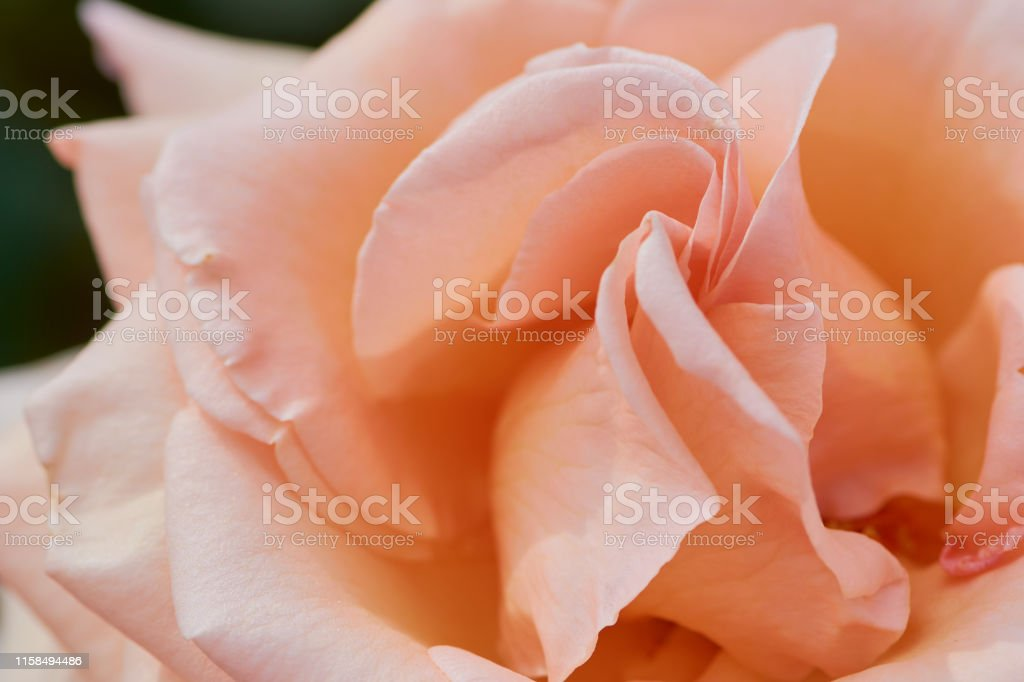 macro picture of apricot colored rose with the name: over the moon