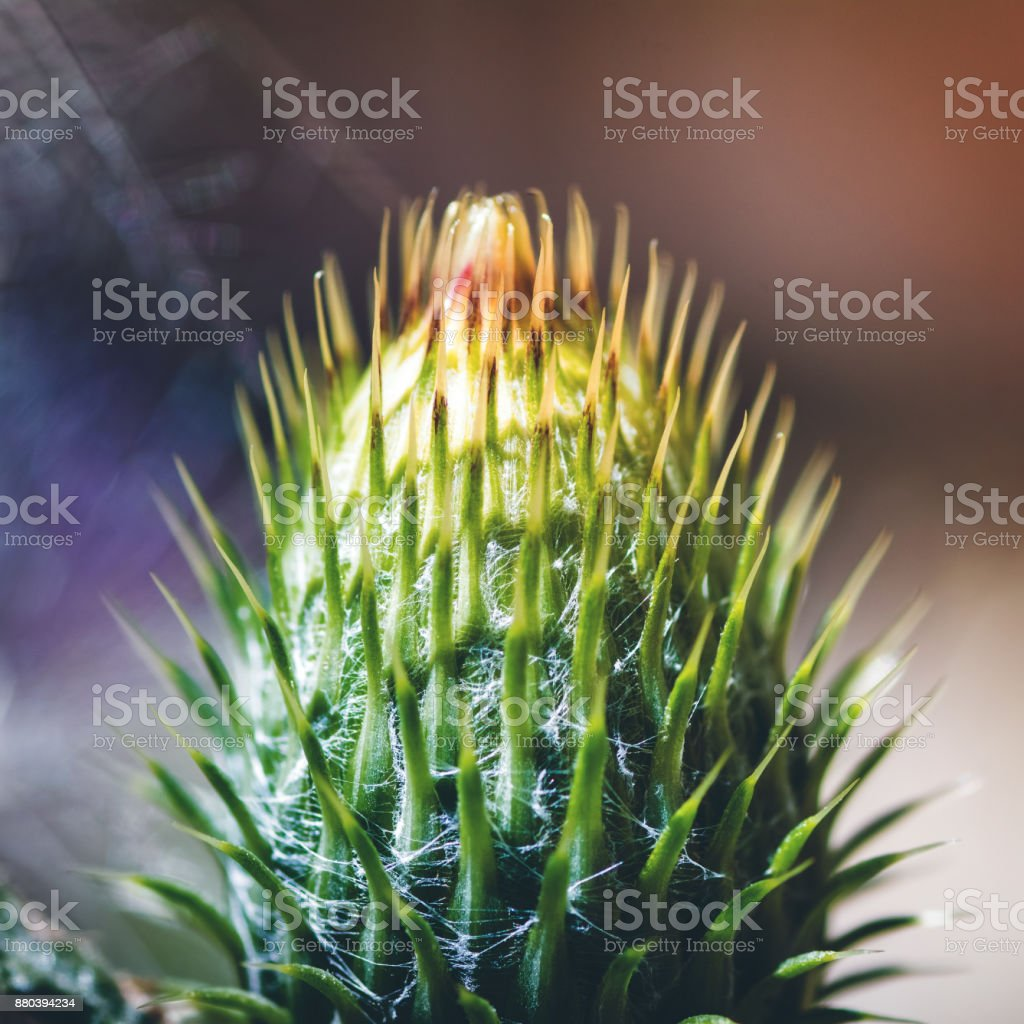 Macro of Thistle flowering plant closed bud sharp flower head in early summer season stock photo