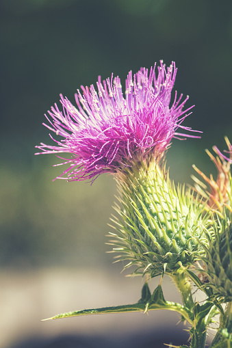 Vertical composition photography macro of beautiful Thistle, also known as Carduus, flowering wild plant opening with vibrant purple flower petals in summer season under bright sunlight.