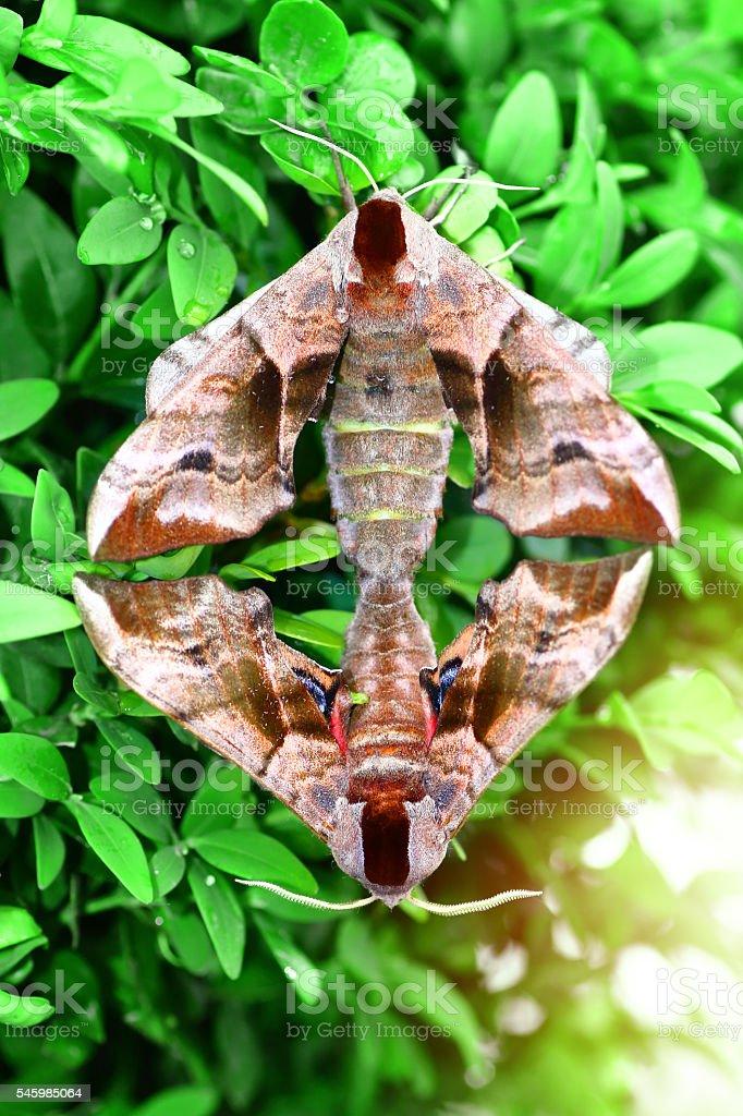 Macro of two beautiful Poplar Hawk-Moth butterflies copulating in nature stock photo