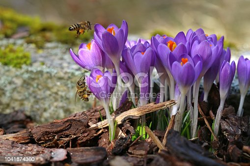 istock Macro of two bees with pollen bags approaching crocuses in spring 1041874360
