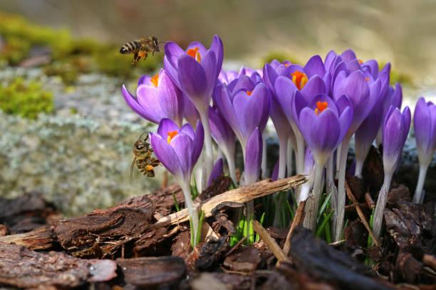 macro de deux abeilles avec des sacs de pollen approchant les crocus au printemps - crocus photos et images de collection