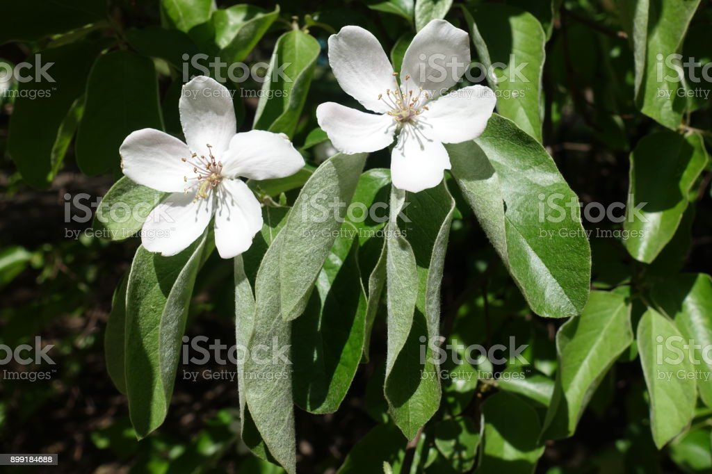 Macro of two five petaled quince flowers stock photo