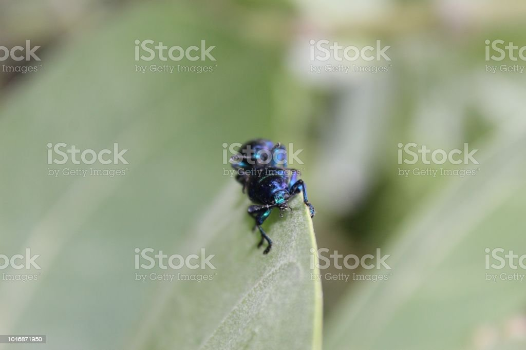 Macro of two small black or metallic blue coloured Female (left) and male (right)Agelastica alni, alder leaf beetle mating with various positions on edge of a Calotropis gigantea (crown flower) leaf. stock photo