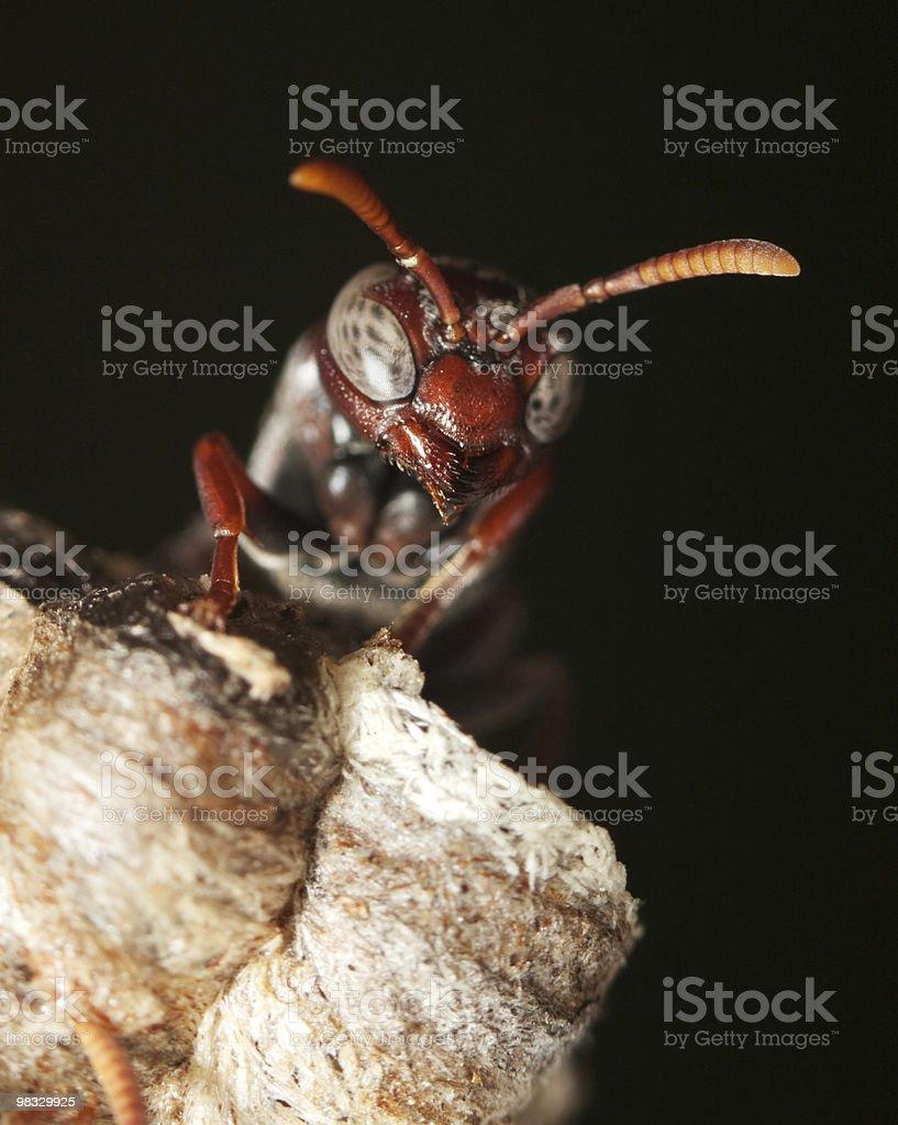 Macro of wasp head against black royalty-free stock photo