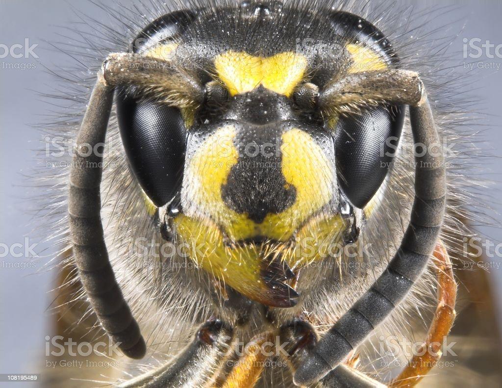 Macro of Wasp Head royalty-free stock photo