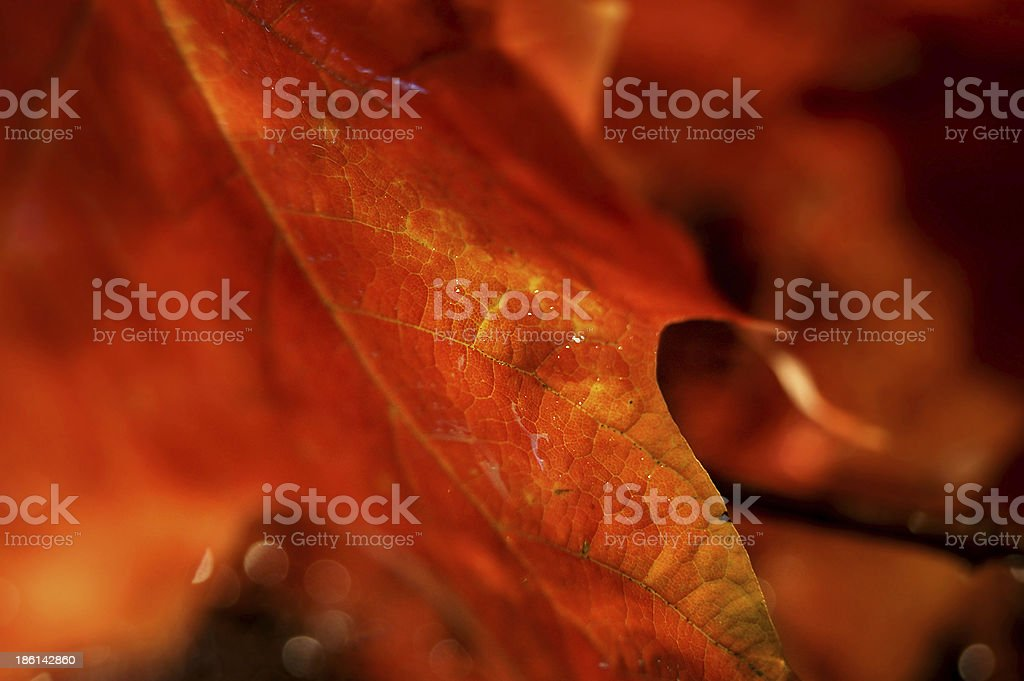 Macro of water droplets on red autumn leaf stock photo