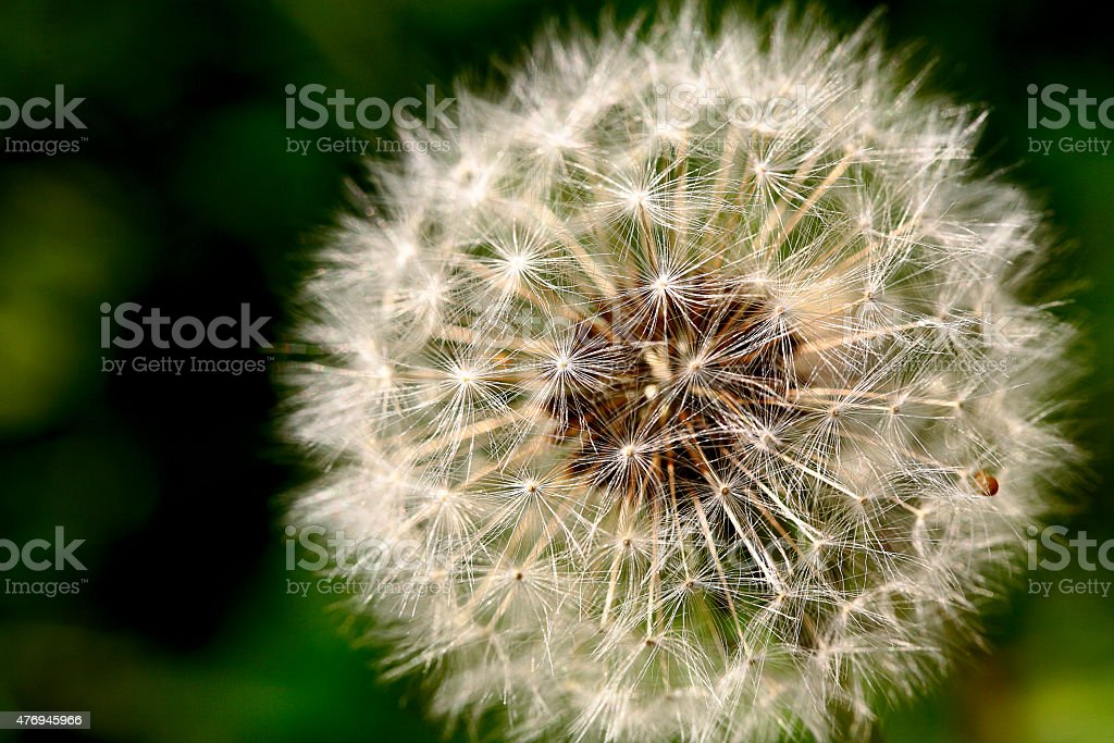 Macro of white dandelion seed ball stock photo