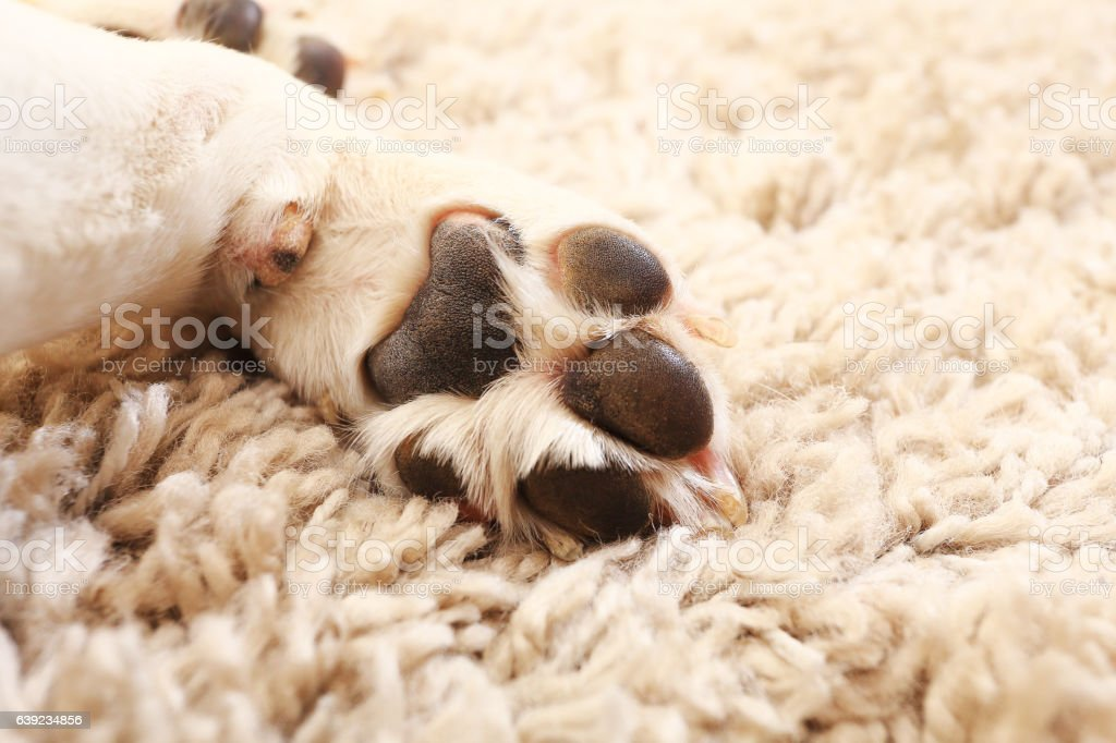 Macro of white dog paw – Foto