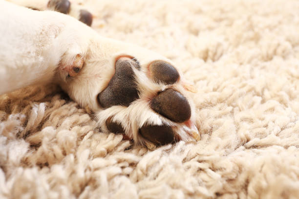 Macro of white dog paw Dog paw close-up. White beagle paw on carpet. Macro of white dog paw. animal hand stock pictures, royalty-free photos & images