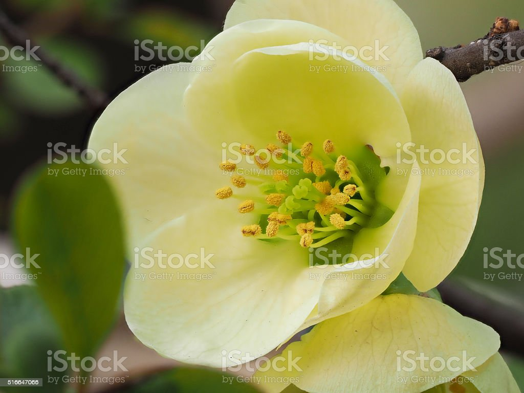Macro of white Japanese quince. stock photo