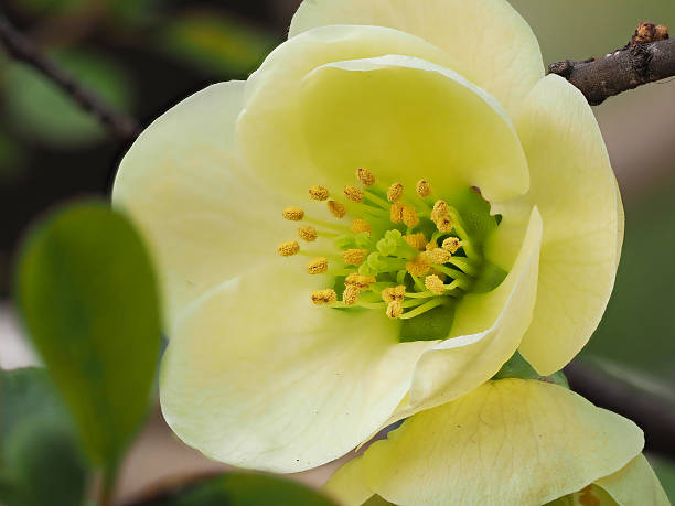 macro of white japanese quince. - stamen stock photos and pictures