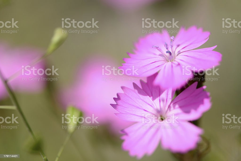 macro of wildflowers royalty-free stock photo