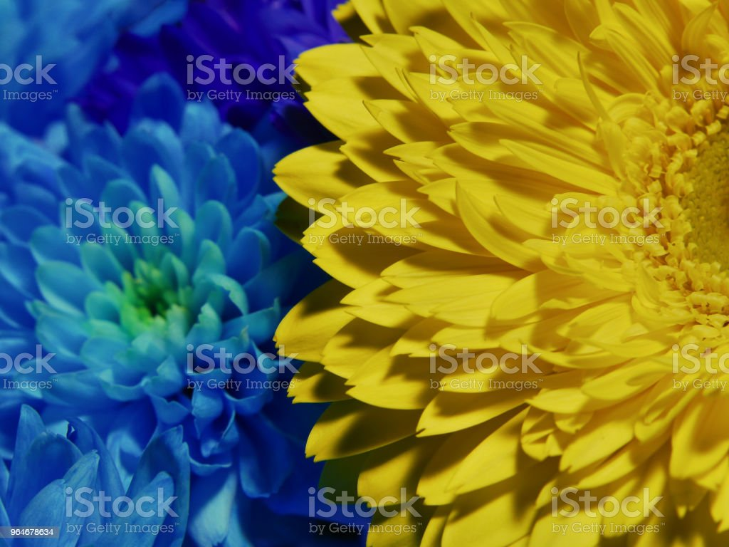 Macro of yellow and blue flowers gerbera near chrysanthemum royalty-free stock photo