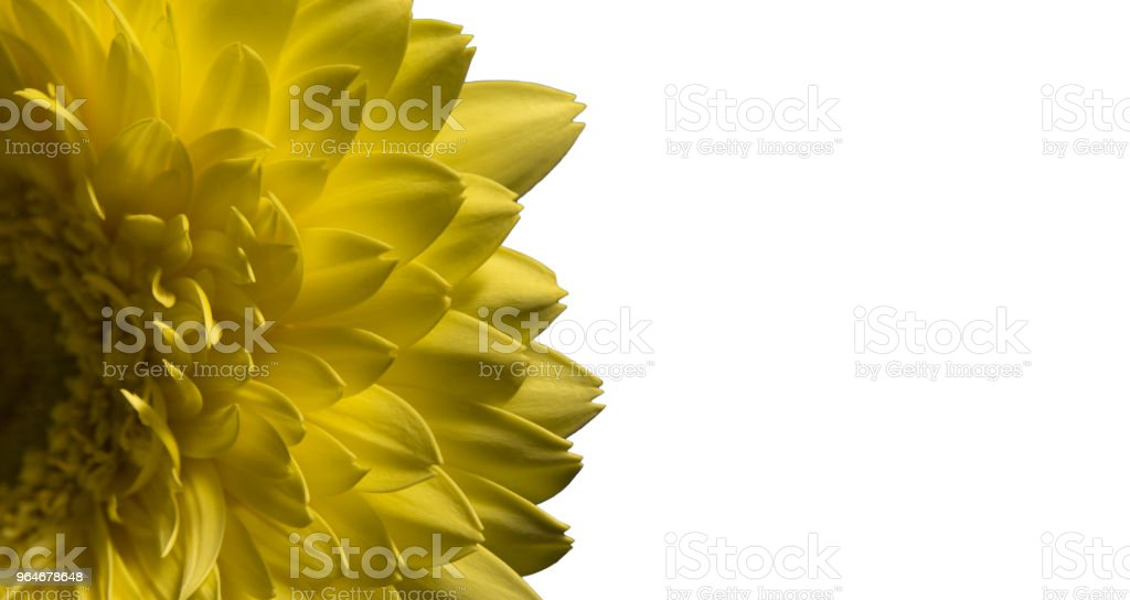 Macro of yellow flower gerbera isolated on white royalty-free stock photo