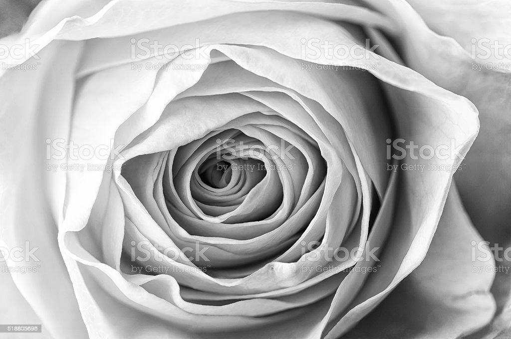 Macro of Yellow Rose stock photo