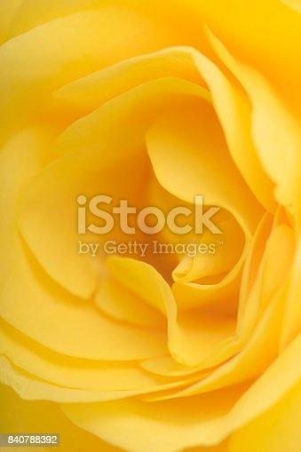 Macro of Yellow rose pattern of petals