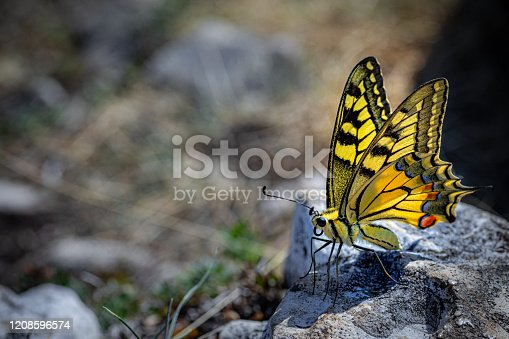 Macro color photography of one beautiful yellow big butterfly taken in France on a stone texture in European Alps mountains, Papilio Machaon also called Old World Swallowtail insect in summer sunny day, with copy space on left of the image.