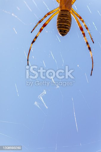 Macro color photography on beautiful wasp spider insect taken in France, Argiope Bruennichi on spider web under sunlight during a sunny summer day in fields and meadows.
