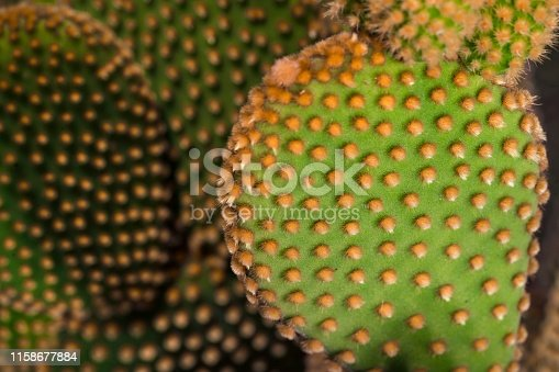This is a macro image capture of a opuntia microdasys cactus leaf with captivating colors and textures.