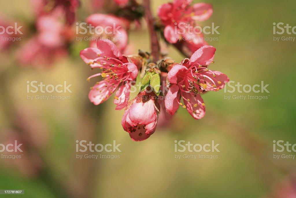 Macro Peach Tree Blossom royalty-free stock photo