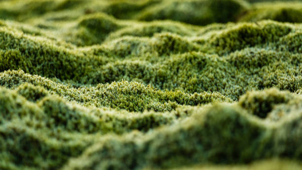 Macro Photo Mossy Plain Iceland Mossy Plain Twilight Close-up Detail moss stock pictures, royalty-free photos & images