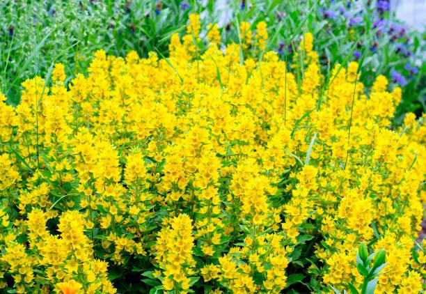Macro photo nature yellow Lysimachia vulgaris flowers. A bright yellow loosestrife flowers in the garden stock photo