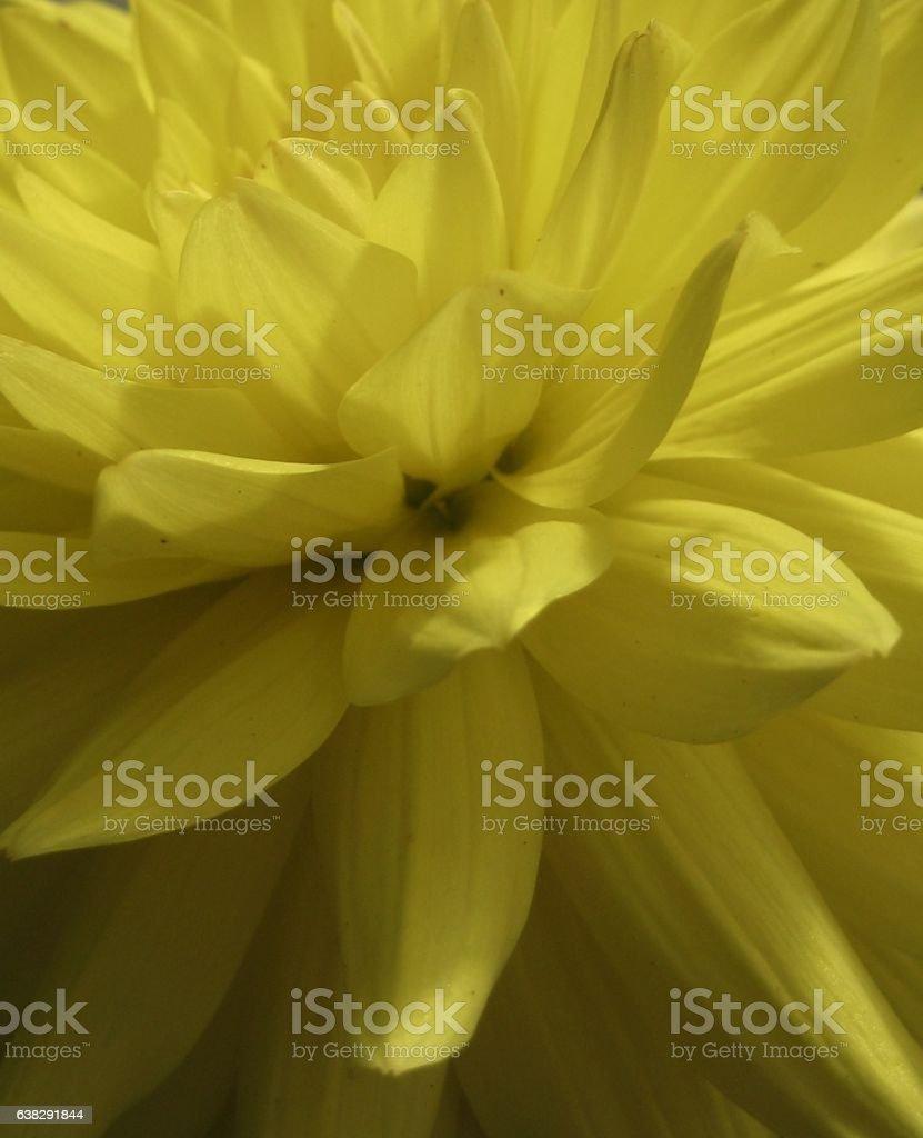 macro photo of a beautiful yellow Dahlia flower petals stock photo