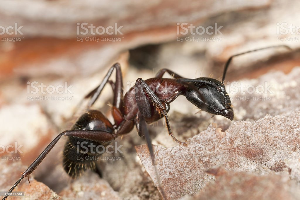 Macro photo of a Carpenter ant, Camponotus herculeanus stock photo