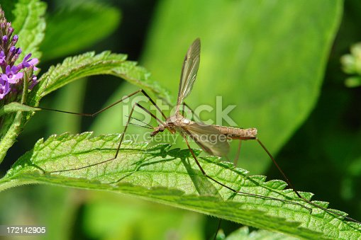 Macro of a crane fly on wildflower.