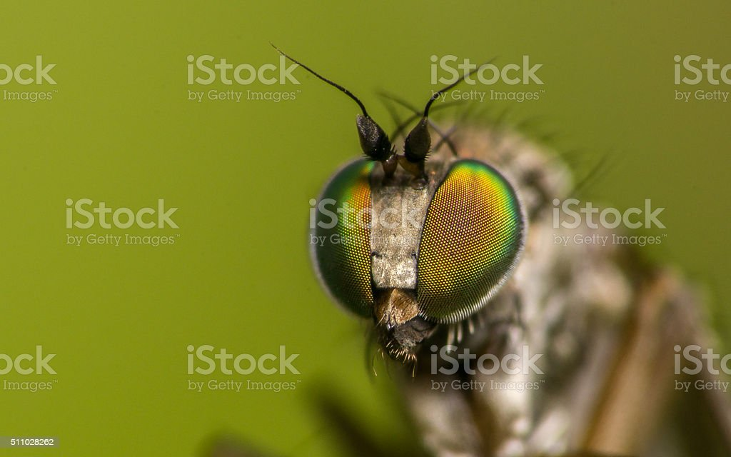 Macro photo of a Dolichopodidae fly, insect stock photo