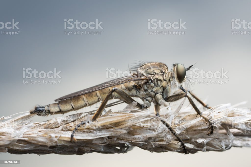 Macro photo of a male robber-fly, Philonicus albiceps resting on straw stock photo