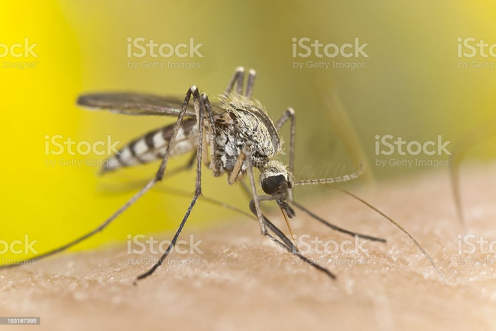 Macro photo of a mosquito sucking blood from an arm stock photo